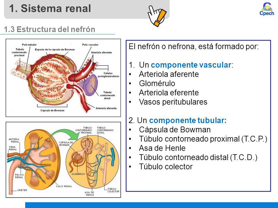 1. Sistema renal 1.3 Estructura del nefrón