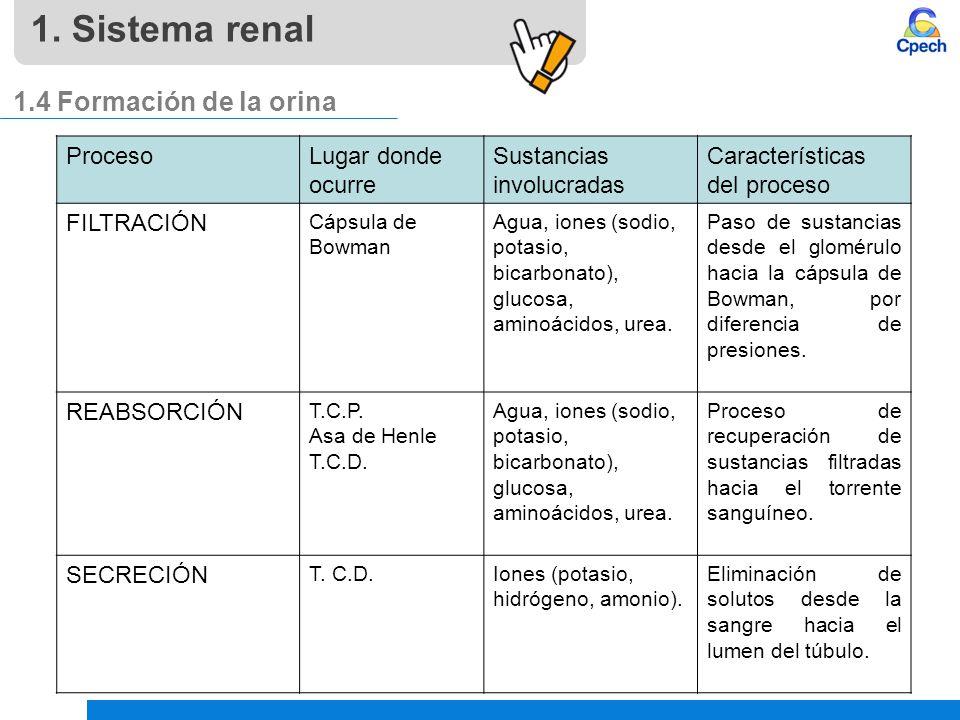1. Sistema renal 1.4 Formación de la orina Proceso Lugar donde ocurre