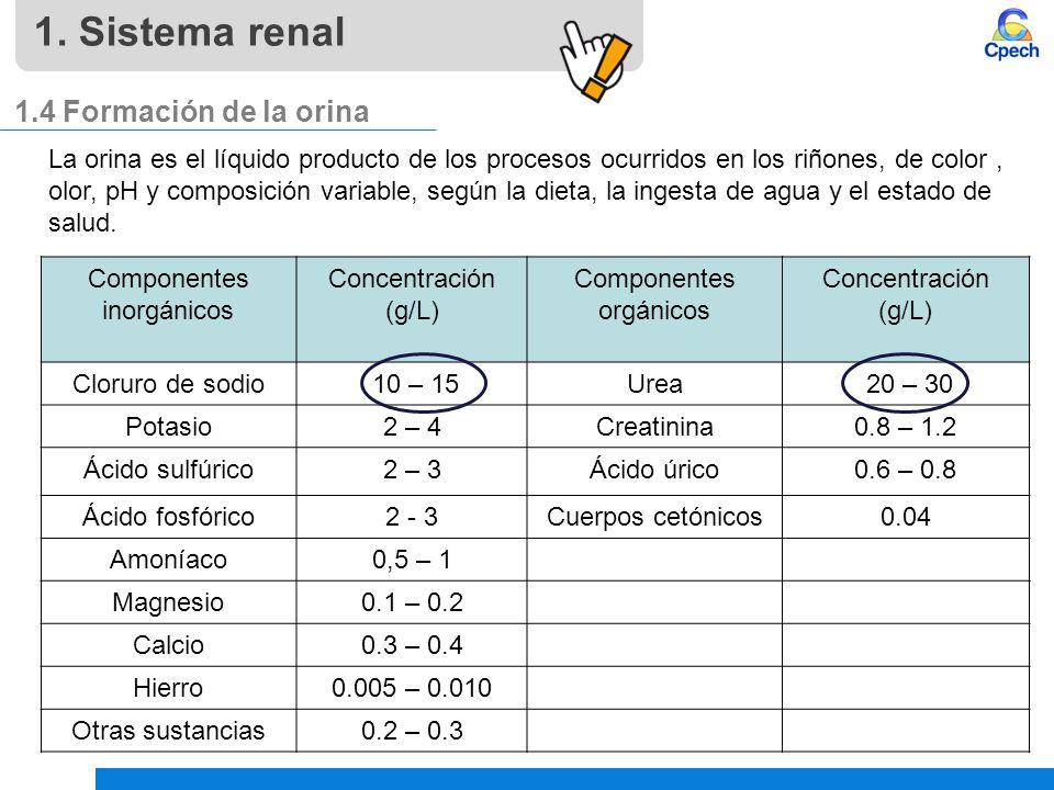 1. Sistema renal 1.4 Formación de la orina