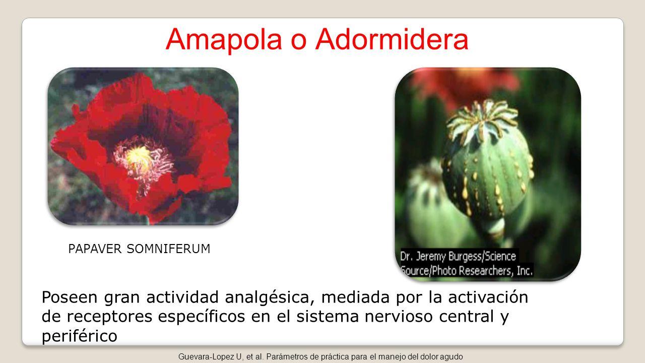 Amapola o Adormidera PAPAVER SOMNIFERUM.