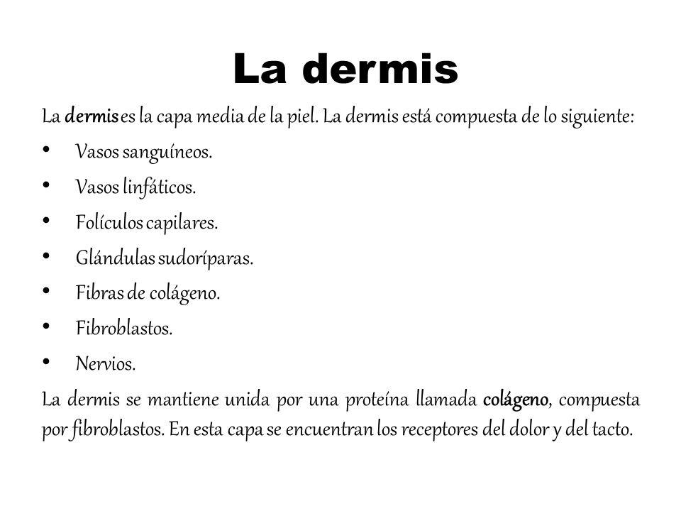 La dermis La dermis es la capa media de la piel. La dermis está compuesta de lo siguiente: Vasos sanguíneos.