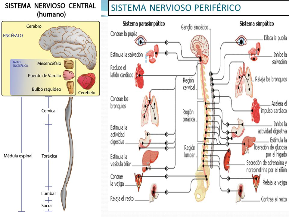 Anatomia Del Sistema Nervioso - Tracyengel.club