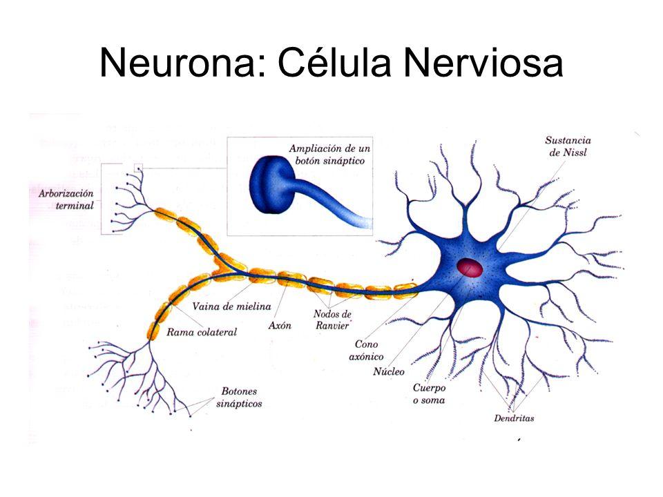 Atractivo Anatomía De Una Célula Nerviosa Composición - Imágenes de ...