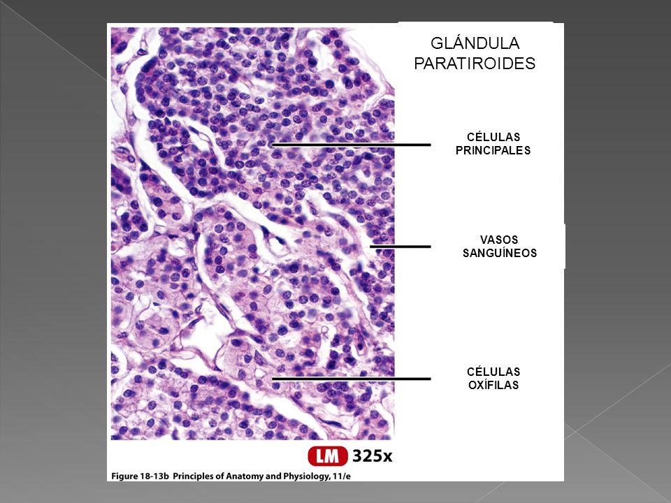 Lujo Glándula Paratiroidea Componente - Anatomía de Las Imágenesdel ...
