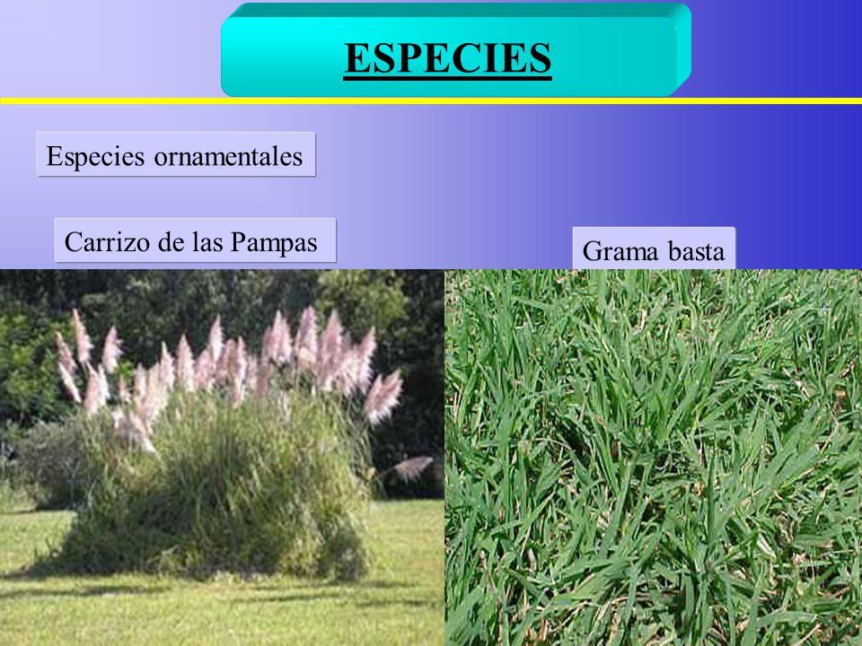 Familia gramineas ppt video online descargar for Especies ornamentales