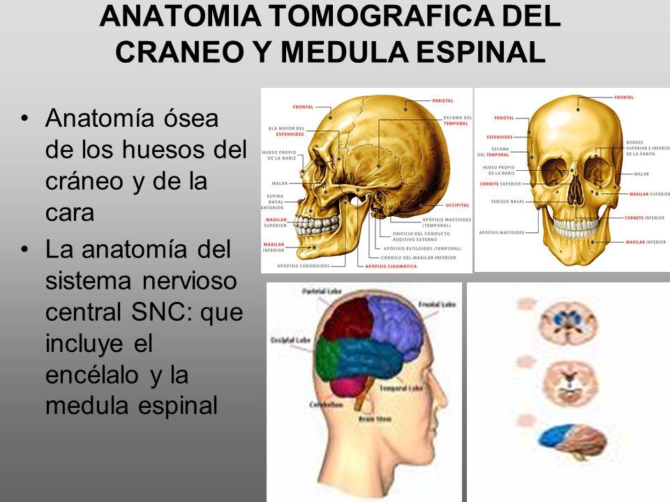 Contemporáneo Anatomía Cráneo Grises Embellecimiento - Anatomía de ...