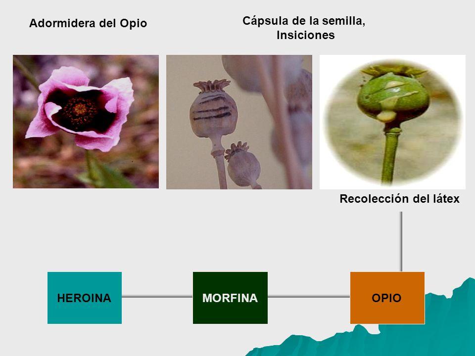 Adormidera del Opio Cápsula de la semilla, Insiciones Recolección del látex HEROINA MORFINA OPIO