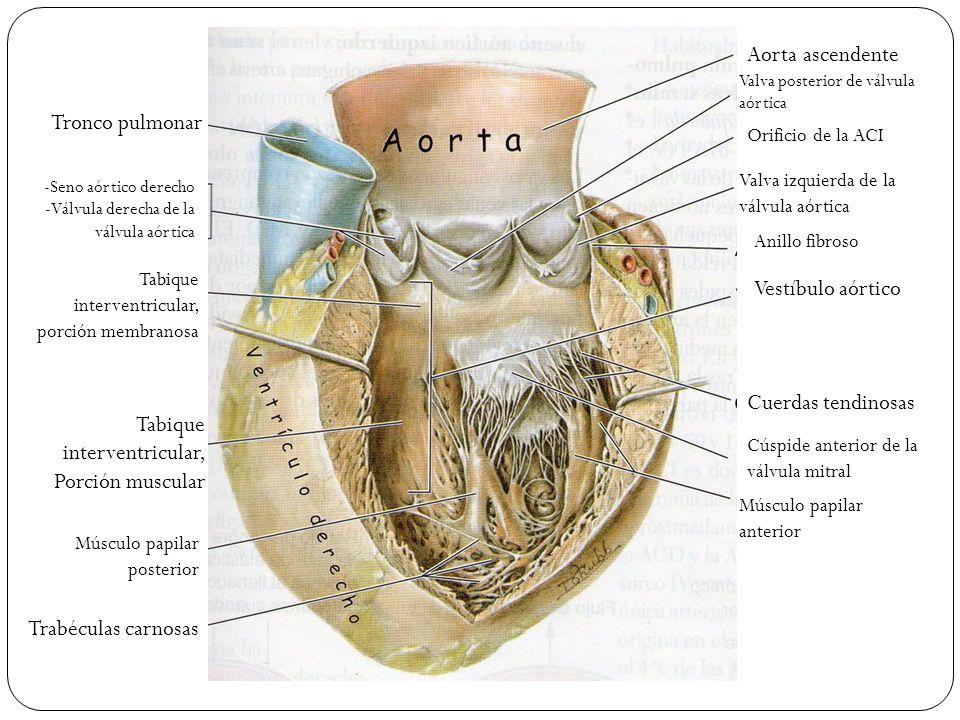 Fantástico Función Tabique Interventricular Composición - Anatomía ...