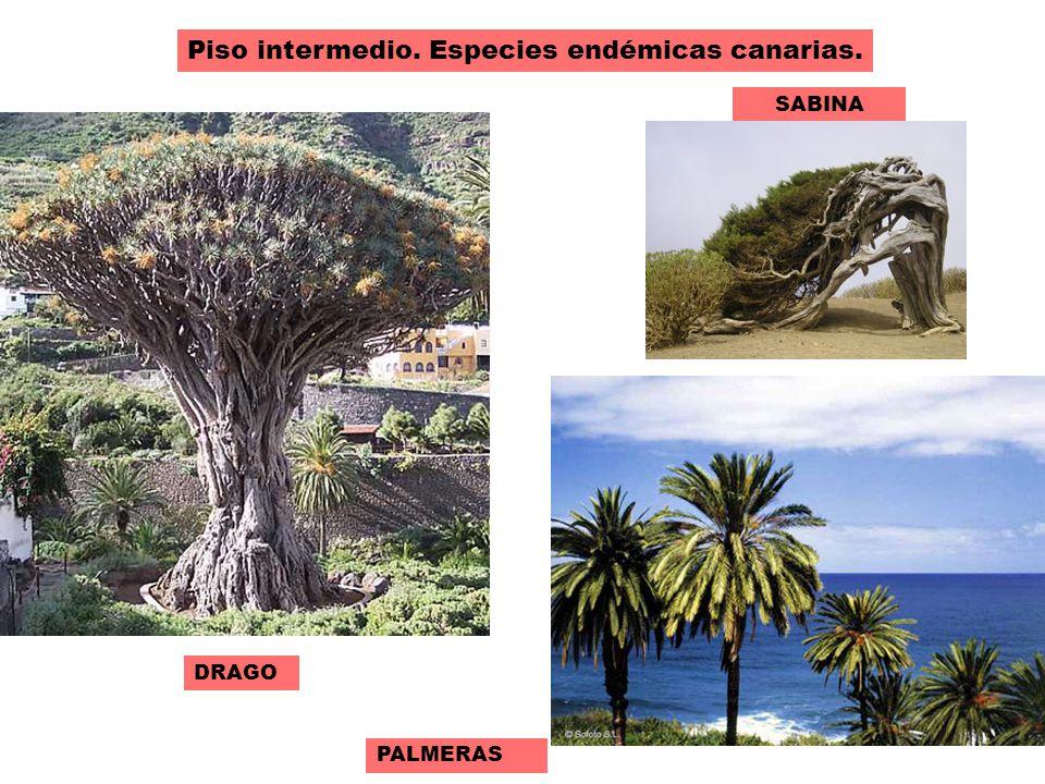 El paisaje vegetal de clima canario ppt video online for Pisos de vegetacion canarias