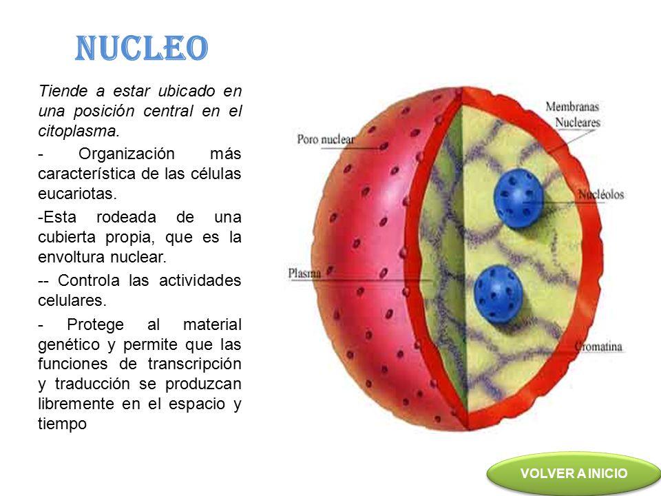 NUCLEO Tiende a estar ubicado en una posición central en el citoplasma. - Organización más característica de las células eucariotas.