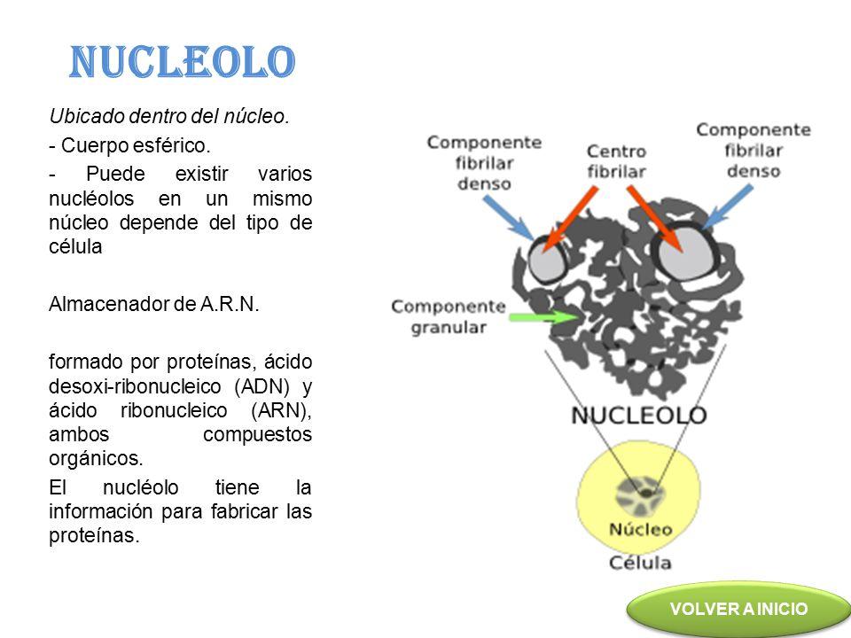 NUCLEOLO Ubicado dentro del núcleo. - Cuerpo esférico.