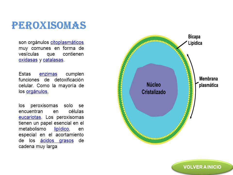 PEROXISOMAS son orgánulos citoplasmáticos muy comunes en forma de vesículas que contienen oxidasas y catalasas.