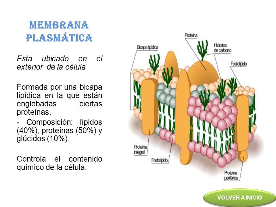 MEMBRANA PLASMÁTICA Esta ubicado en el exterior de la célula