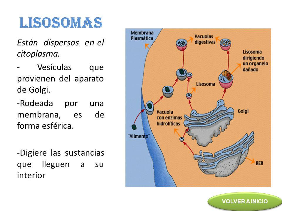 LISOSOMAS Están dispersos en el citoplasma.