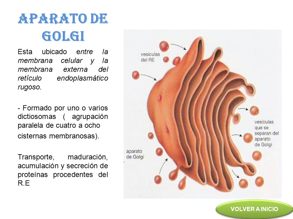 APARATO DE GOLGI Esta ubicado entre la membrana celular y la membrana externa del retículo endoplasmático rugoso.