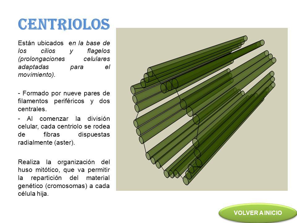 CENTRIOLOS Están ubicados en la base de los cilios y flagelos (prolongaciones celulares adaptadas para el movimiento).