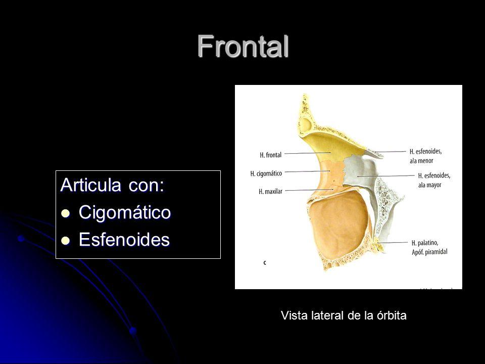 Frontal Articula con: Cigomático Esfenoides Vista lateral de la órbita
