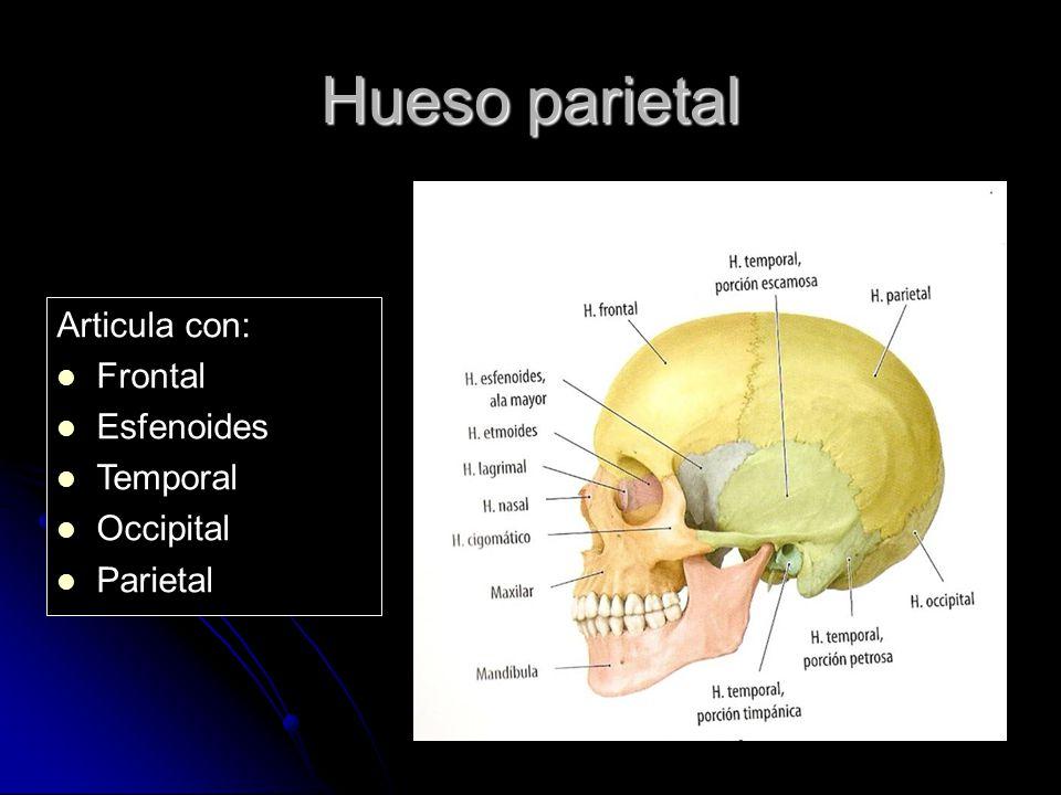 Hueso parietal Articula con: Frontal Esfenoides Temporal Occipital