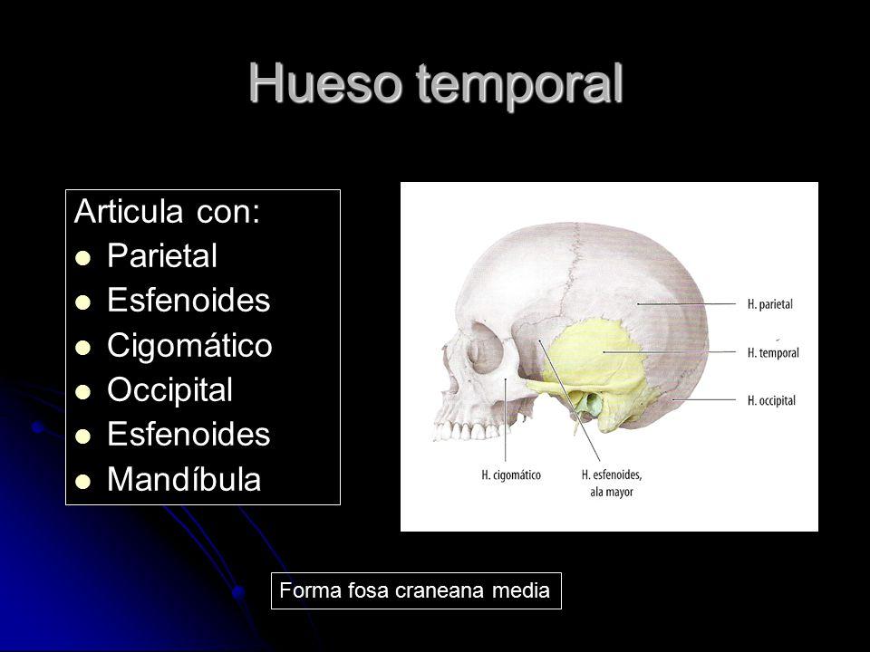 Hueso temporal Articula con: Parietal Esfenoides Cigomático Occipital