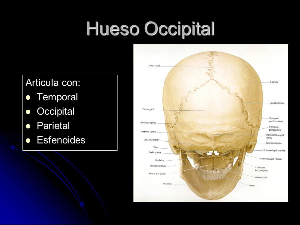 Hueso Occipital Articula con: Temporal Occipital Parietal Esfenoides