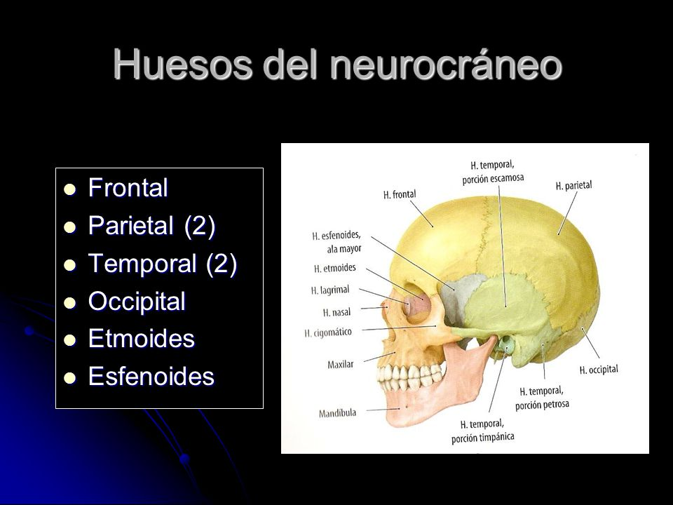 Huesos del neurocráneo