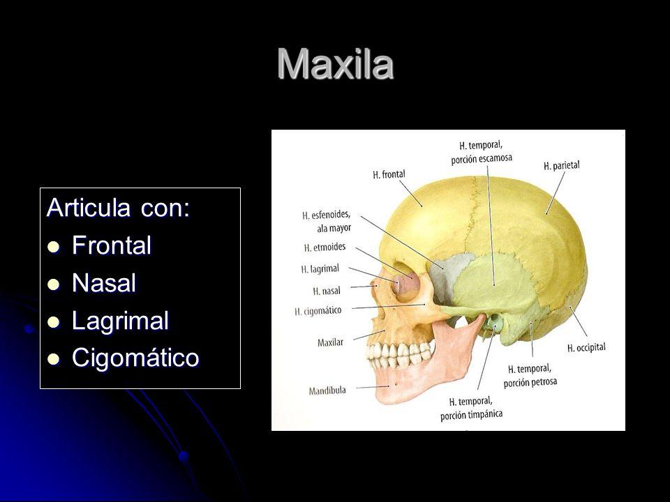 Maxila Articula con: Frontal Nasal Lagrimal Cigomático