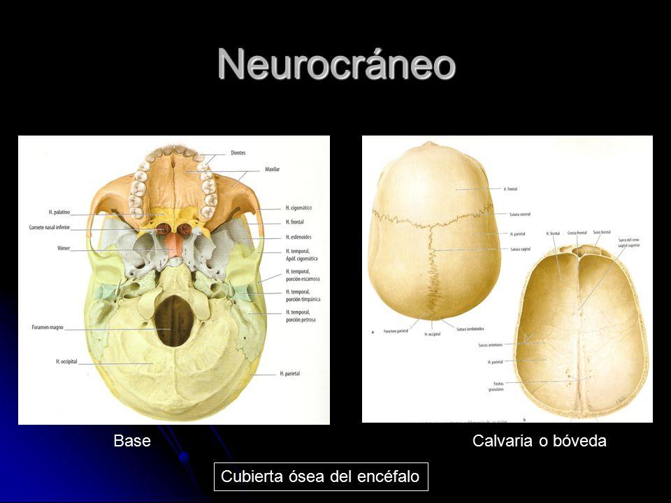 Neurocráneo Base Calvaria o bóveda Cubierta ósea del encéfalo