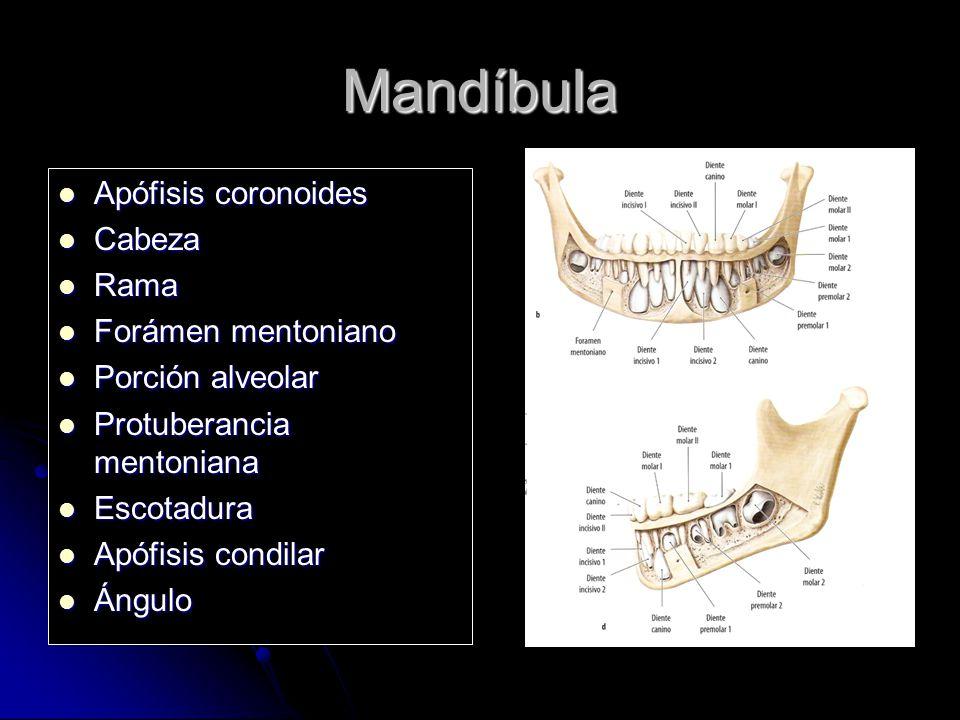 Mandíbula Apófisis coronoides Cabeza Rama Forámen mentoniano