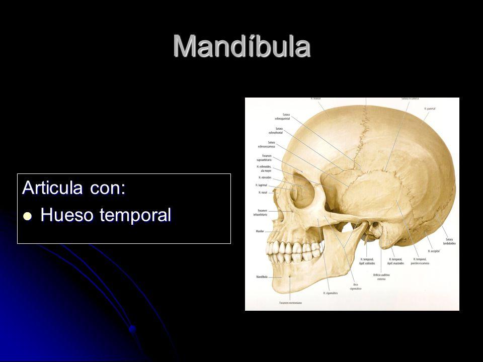 Mandíbula Articula con: Hueso temporal
