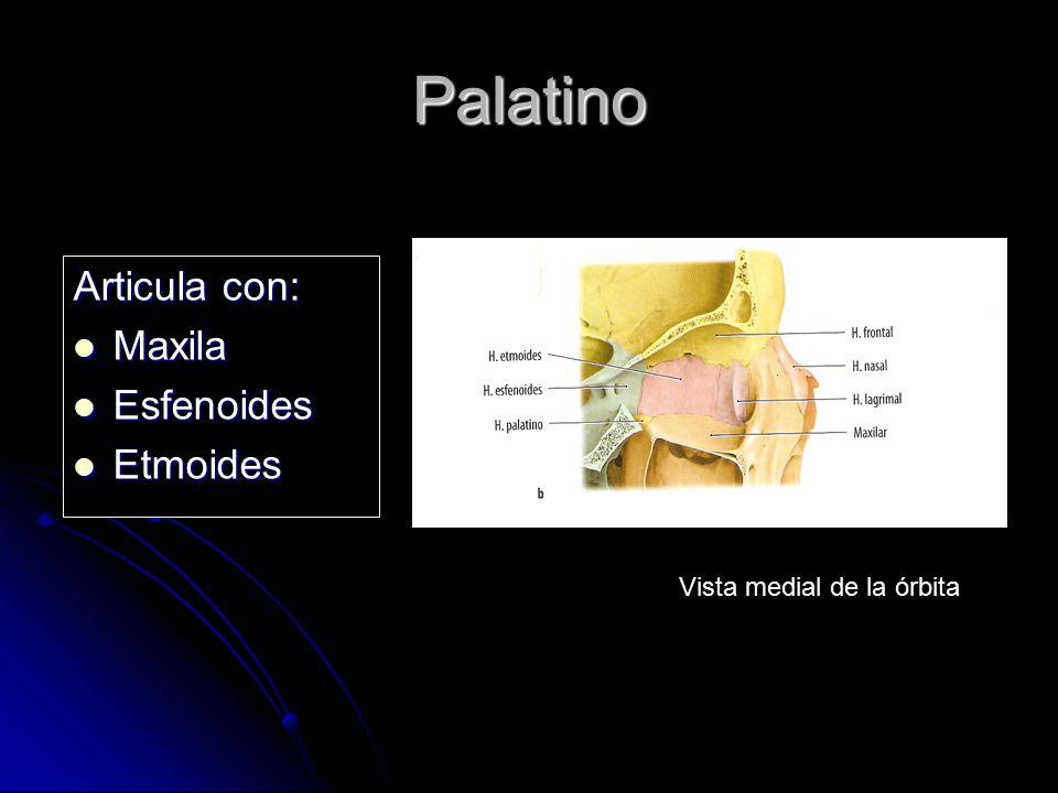 Palatino Articula con: Maxila Esfenoides Etmoides