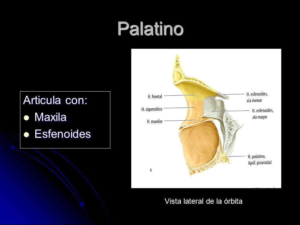 Palatino Articula con: Maxila Esfenoides Vista lateral de la órbita