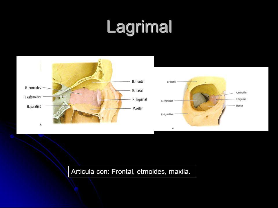 Lagrimal Articula con: Frontal, etmoides, maxila.
