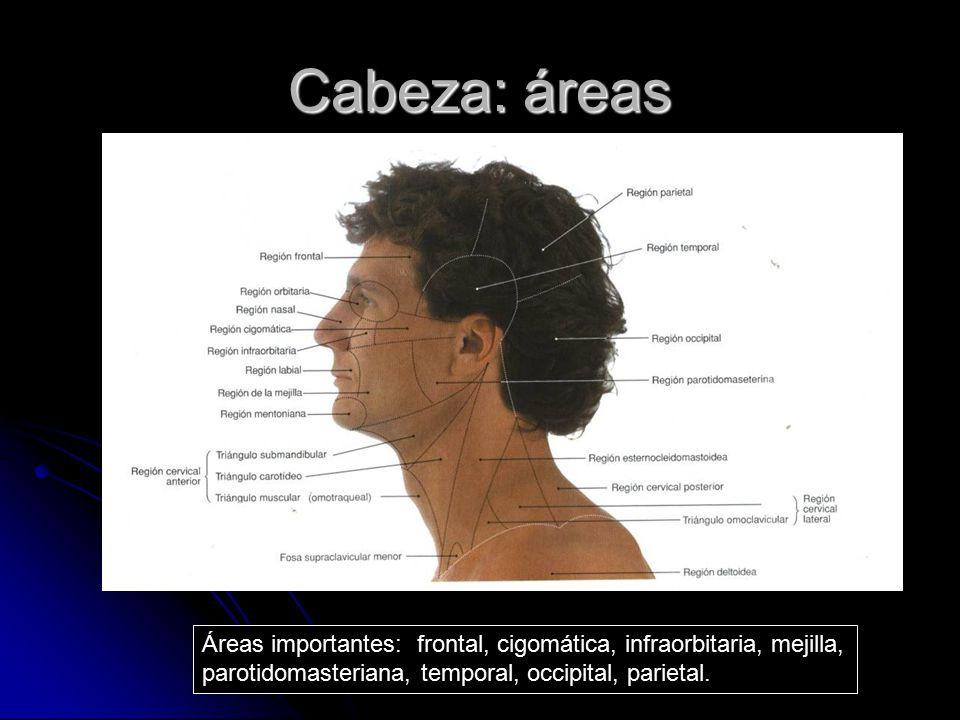 Cabeza: áreas Áreas importantes: frontal, cigomática, infraorbitaria, mejilla, parotidomasteriana, temporal, occipital, parietal.