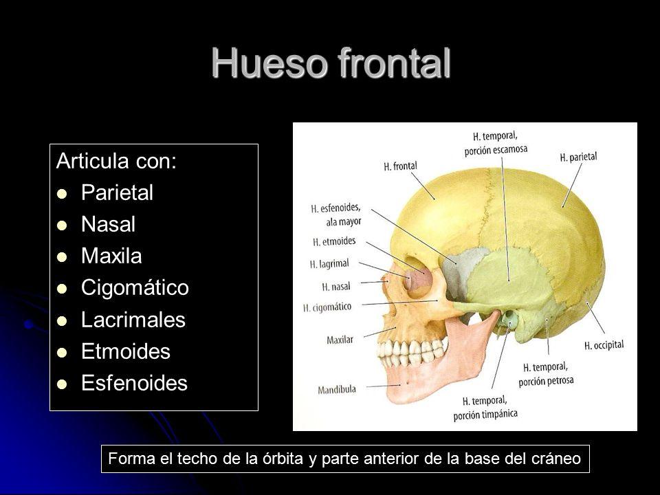 Hueso frontal Articula con: Parietal Nasal Maxila Cigomático