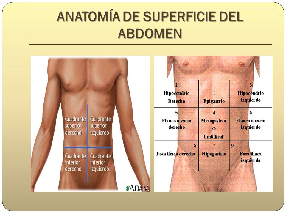 Atractivo Anatomía De Superficie Del Abdomen Molde - Imágenes de ...
