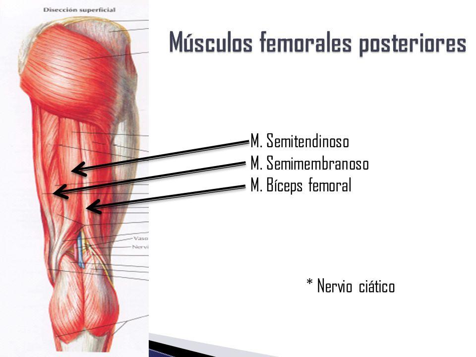 Lujo Anatomía De La Vía De Nervio Ciático Composición - Imágenes de ...