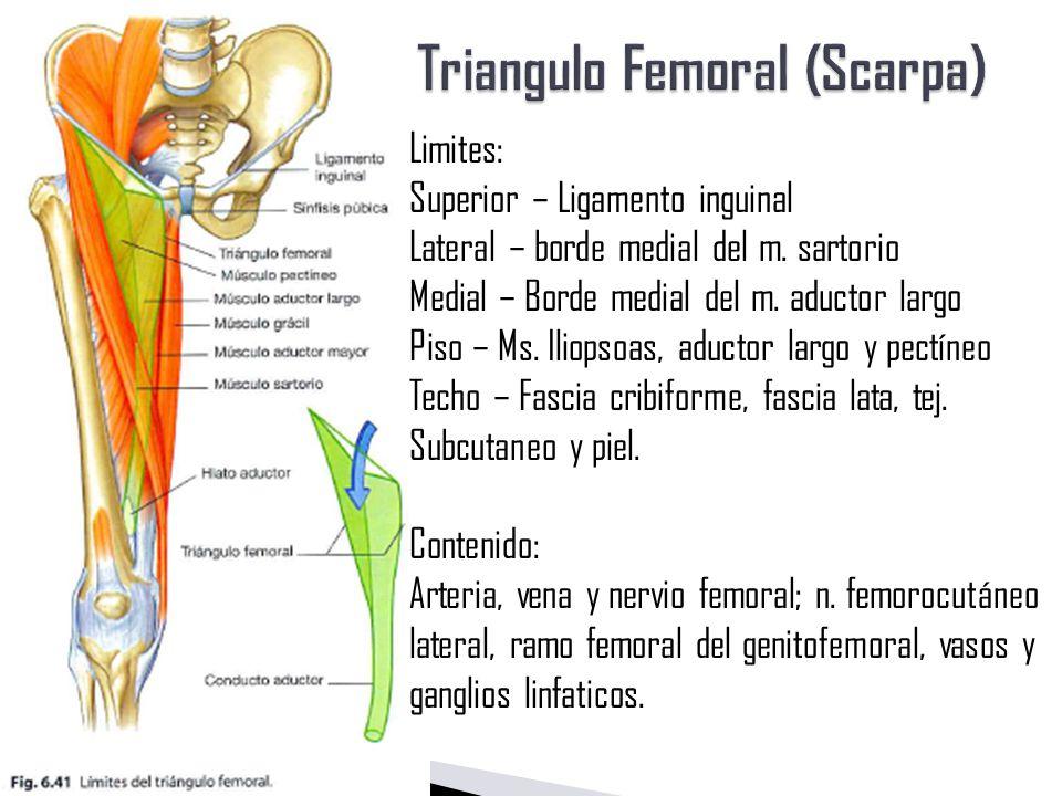 Asombroso Triángulo De La Anatomía De Seguridad Bosquejo - Anatomía ...
