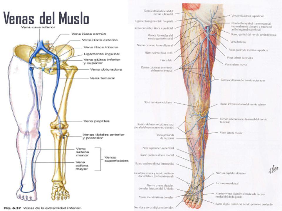 Increíble Anatomía De La Vena Safena Menor Viñeta - Anatomía de Las ...