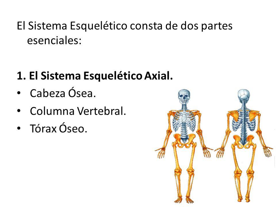 Sistema esquelético axial y apendicular - ppt descargar