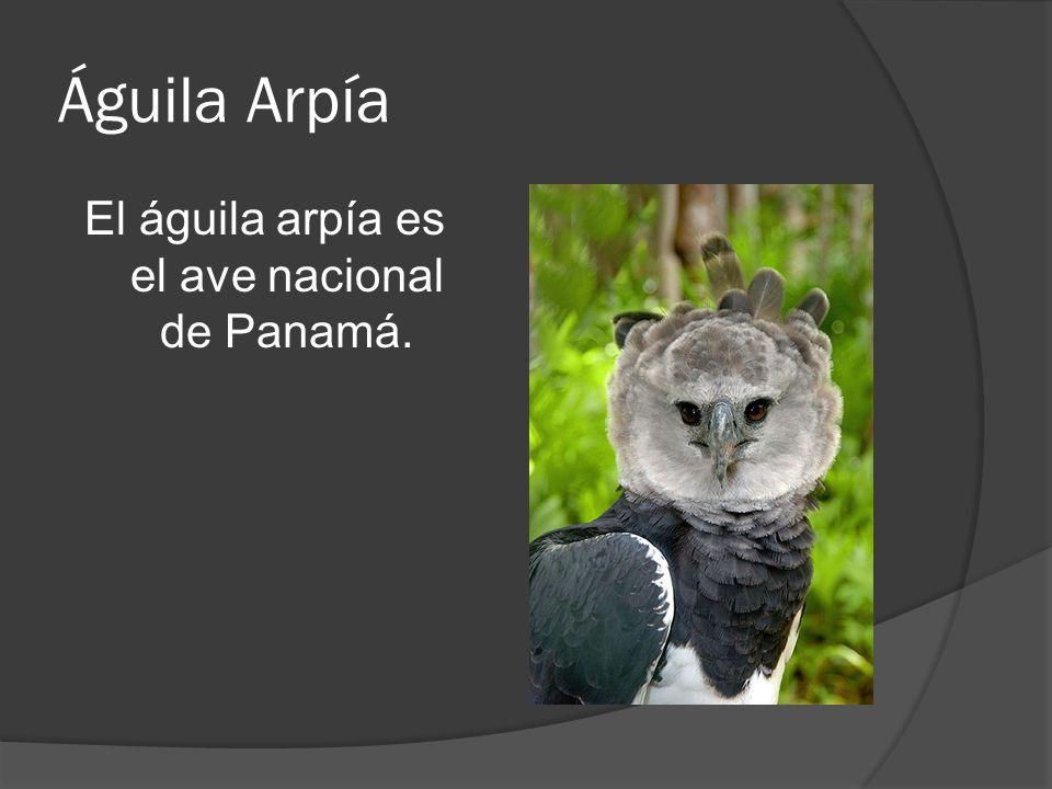 El águila arpía es el ave nacional de Panamá.