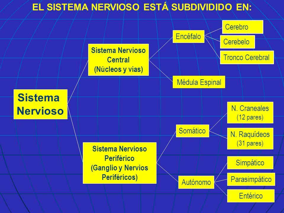 Sistema Nervioso EL SISTEMA NERVIOSO ESTÁ SUBDIVIDIDO EN: Cerebro ...