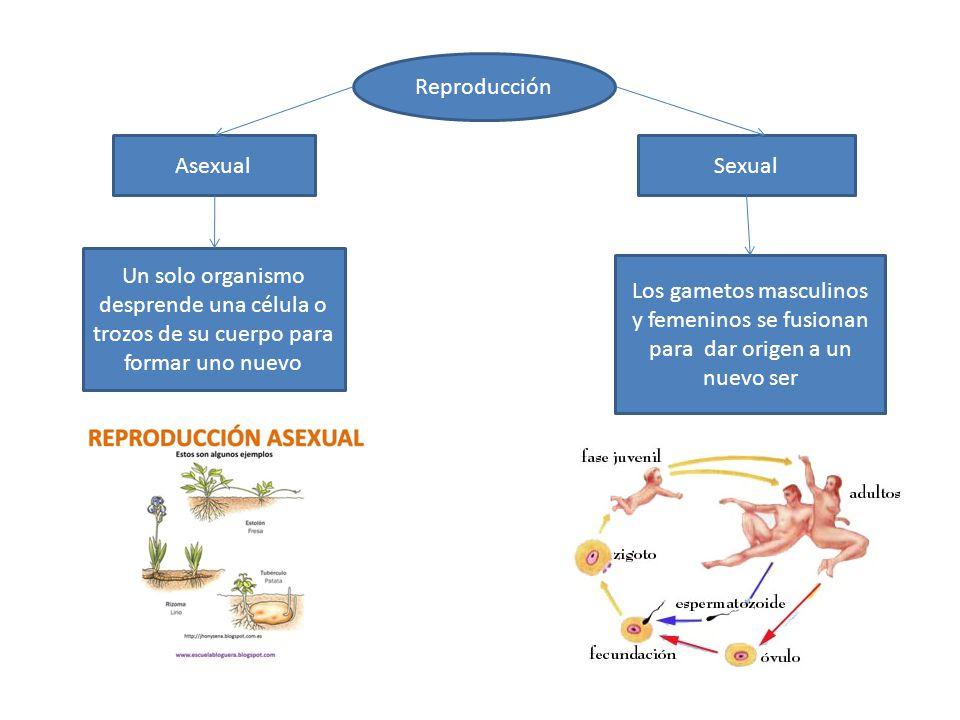 Reproducción Asexual. Sexual. Un solo organismo desprende una célula o trozos de su cuerpo para formar uno nuevo.