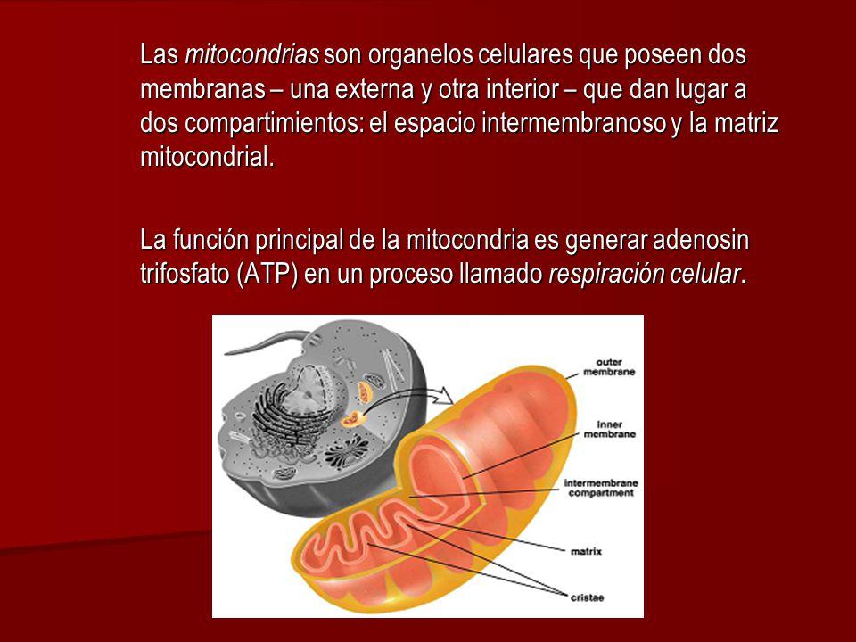 Las mitocondrias son organelos celulares que poseen dos membranas – una externa y otra interior – que dan lugar a dos compartimientos: el espacio intermembranoso y la matriz mitocondrial.