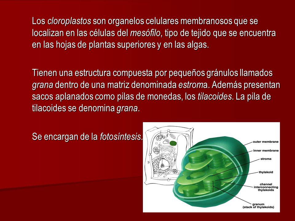 Los cloroplastos son organelos celulares membranosos que se localizan en las células del mesófilo, tipo de tejido que se encuentra en las hojas de plantas superiores y en las algas.
