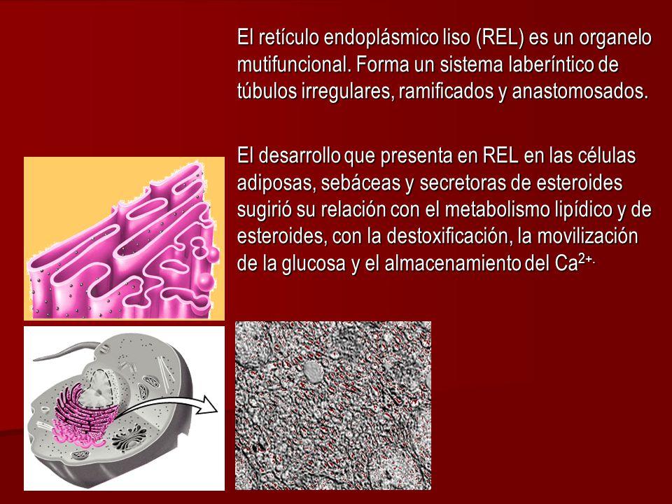El retículo endoplásmico liso (REL) es un organelo mutifuncional