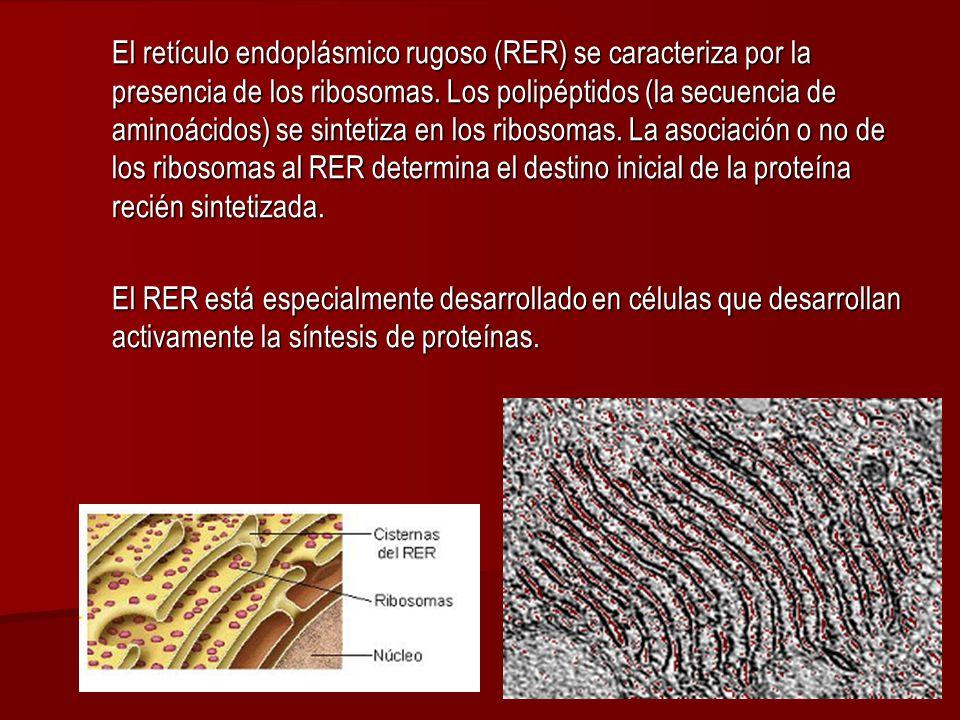El retículo endoplásmico rugoso (RER) se caracteriza por la presencia de los ribosomas. Los polipéptidos (la secuencia de aminoácidos) se sintetiza en los ribosomas. La asociación o no de los ribosomas al RER determina el destino inicial de la proteína recién sintetizada.