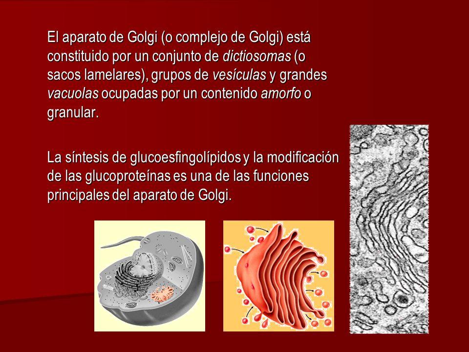 El aparato de Golgi (o complejo de Golgi) está constituido por un conjunto de dictiosomas (o sacos lamelares), grupos de vesículas y grandes vacuolas ocupadas por un contenido amorfo o granular.