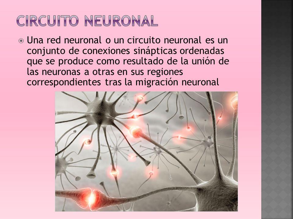 Circuito Neuronal : Fundamentos científicos de la neurofisiología ppt video