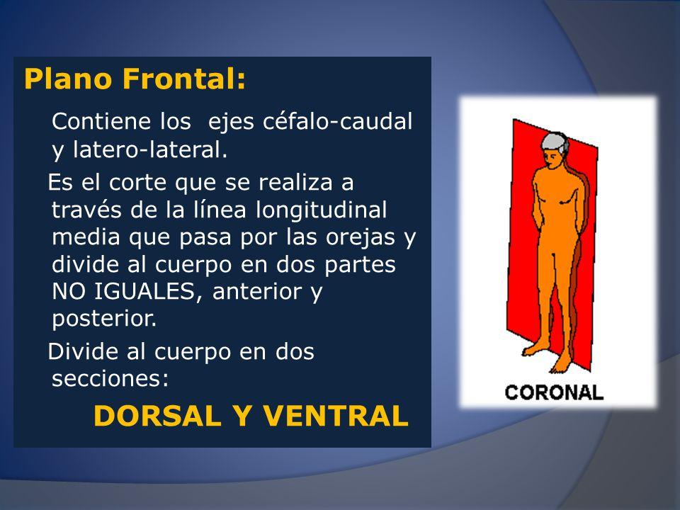 Contiene los ejes céfalo-caudal y latero-lateral.