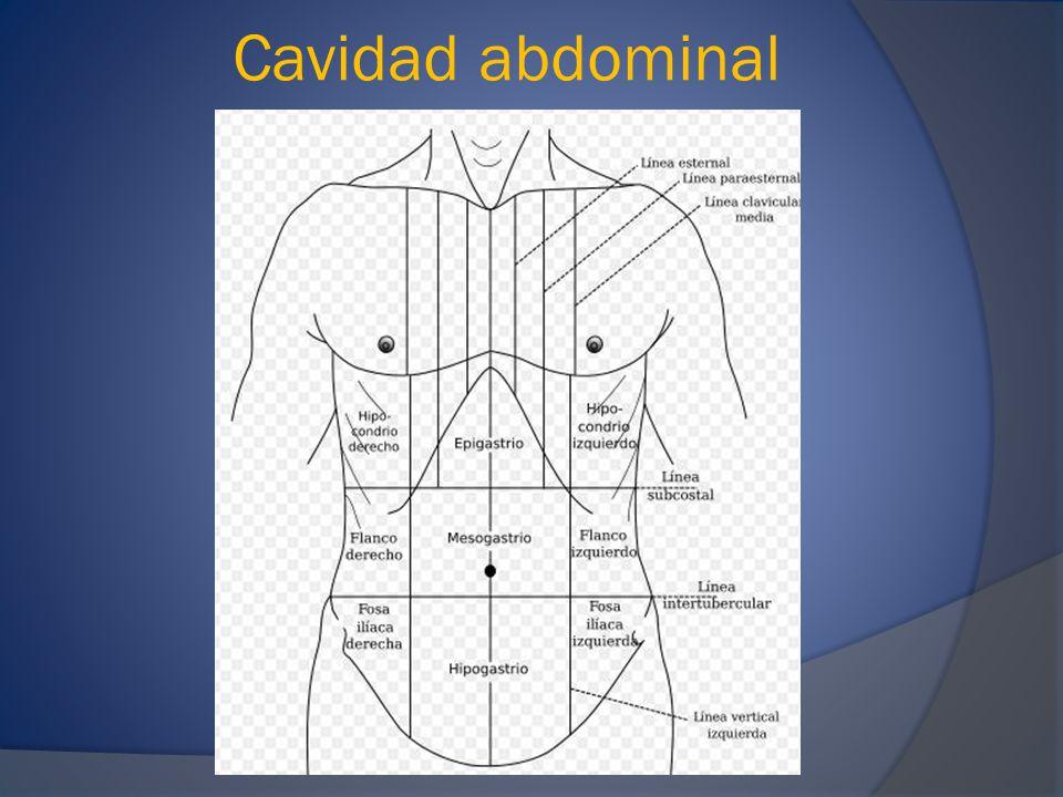 Cavidad abdominal